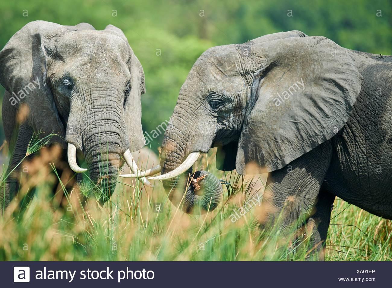 L'éléphant africain (Loxodonta africana) se nourrissent de la végétation. Murchisson Falls National Park, de l'Ouganda. Photo Stock