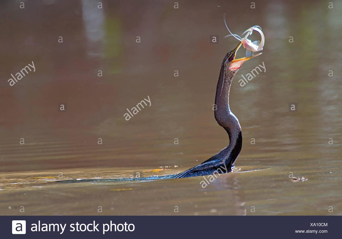 Anhinga melanogaster indiennes (dard), hat im Fluss der Fisch gefangen Kinabatangan, Malaisie, Bornéo, Sabah Photo Stock