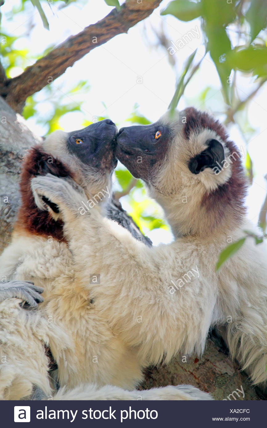 Le propithèque de verreaux (Propithecus verreauxi), deux animaux sont assis dans un arbre et l'embrasser, à Madagascar, le Parc National Zombitse-Vohibasia Photo Stock