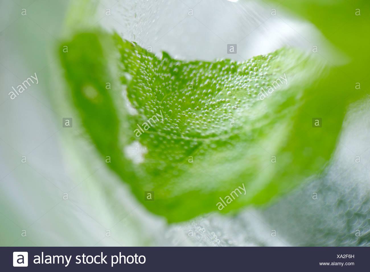 Feuille de menthe fraîche dans un verre d'eau Photo Stock