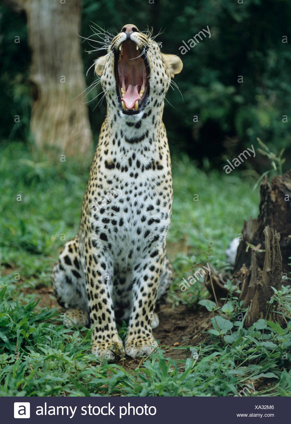 Leopard (Panthera pardus), le bâillement, au Zimbabwe Photo Stock