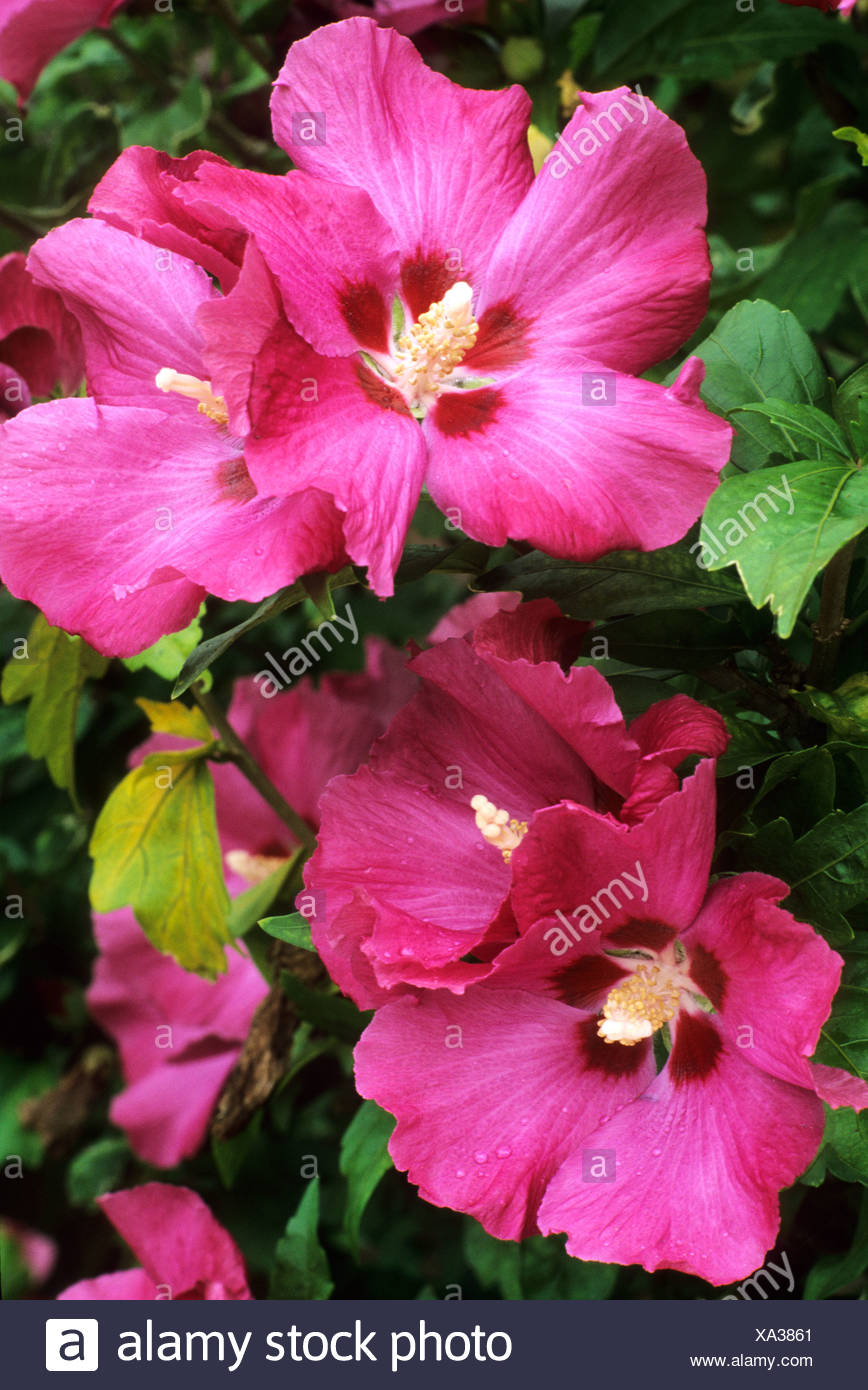 Hibiscus Syriacus Pink Giant Banque Dimages Photo Stock 281584745