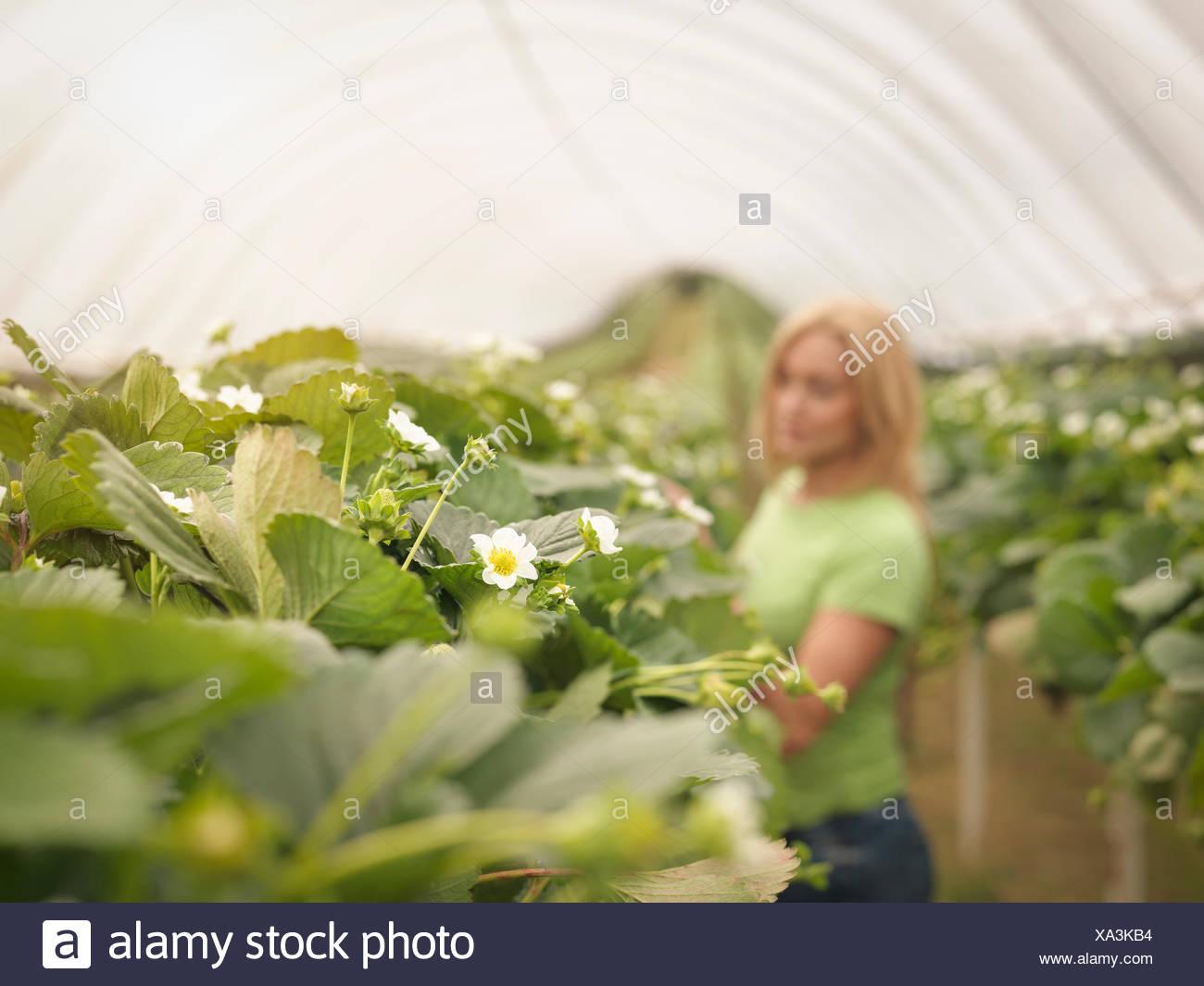 Contrôle des travailleurs dans les fraisiers polytunnel sur fruit farm Photo Stock