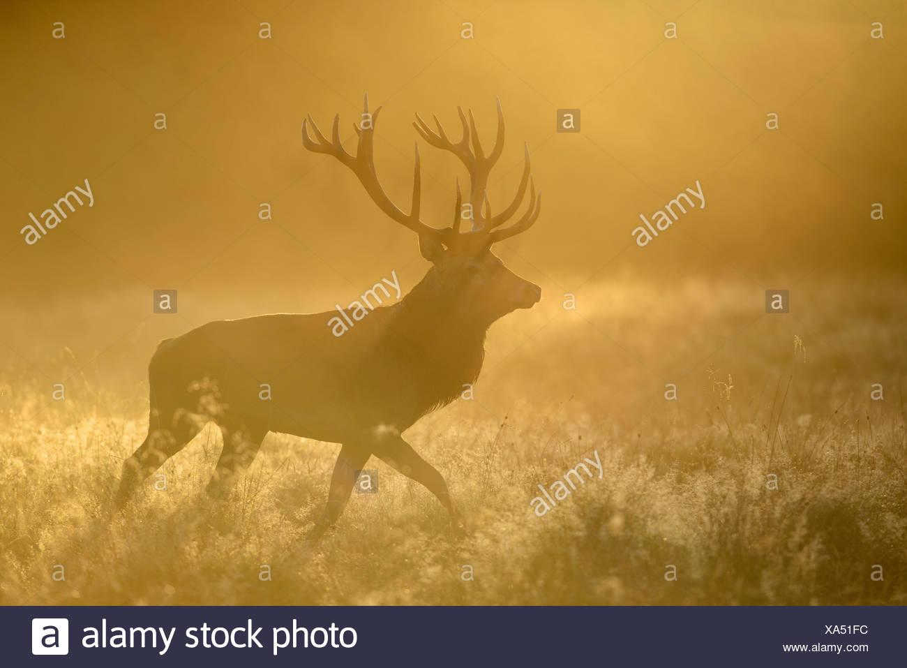 Red Deer (Cervus elaphus), stag en première lumière rosée, prairie et le brouillard, la Nouvelle-Zélande, le Danemark Photo Stock
