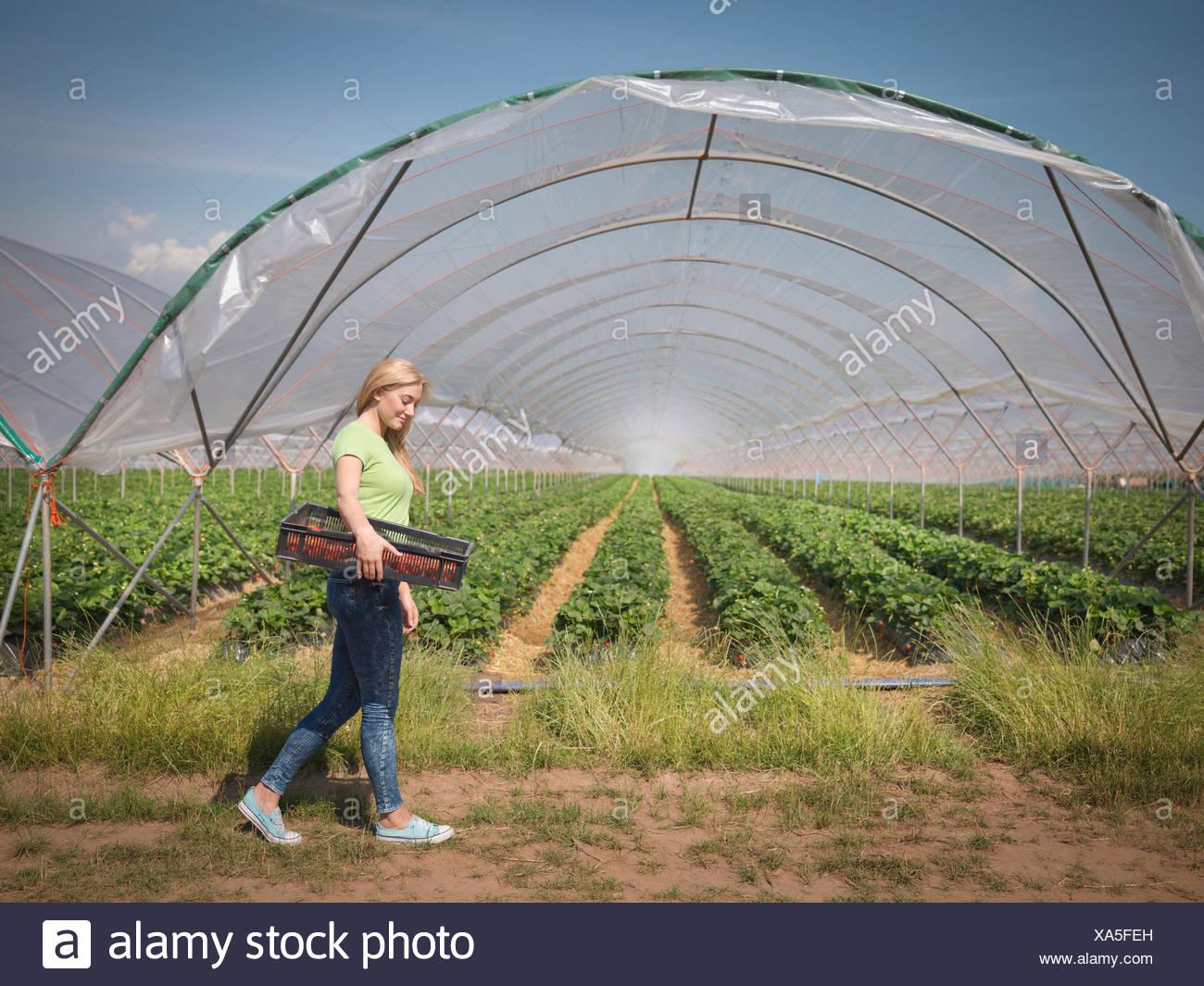 Strawberry picker marcher passé polytunnel sur fruit farm Photo Stock
