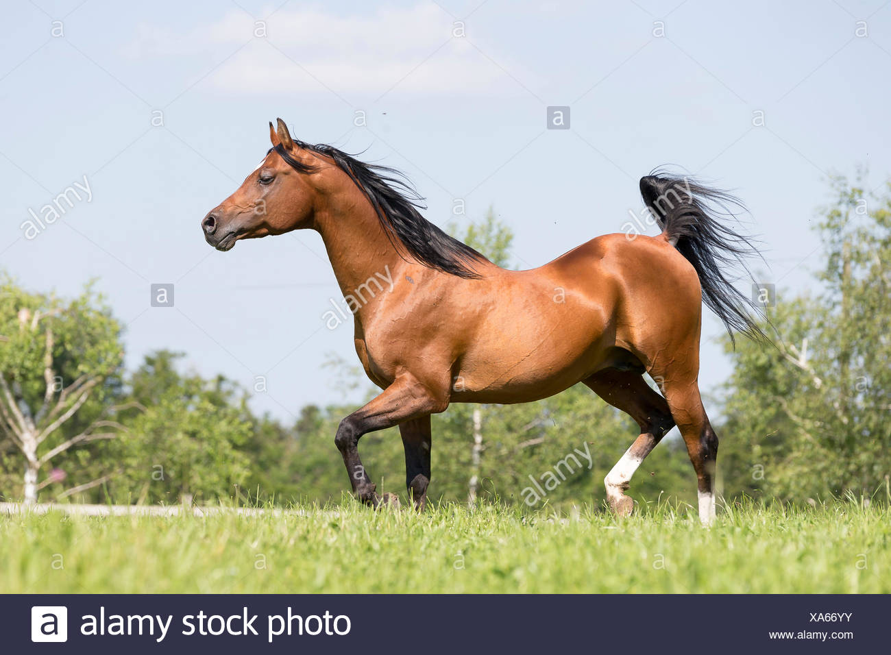 cheval arabe suisse