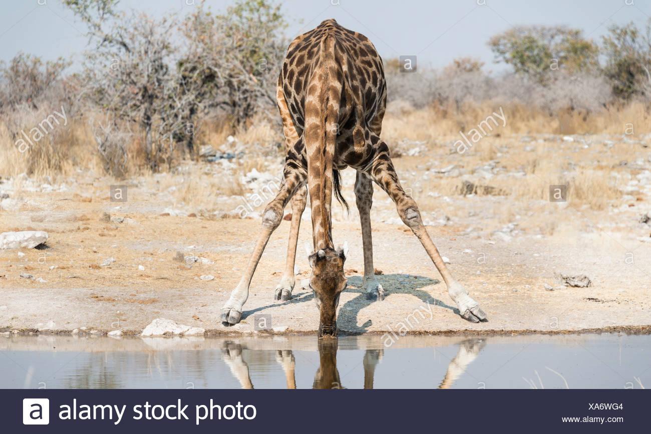 Girafe (Giraffa camelopardalis) boire à l'Kalkheuwel waterhole, Etosha National Park, Namibie Photo Stock