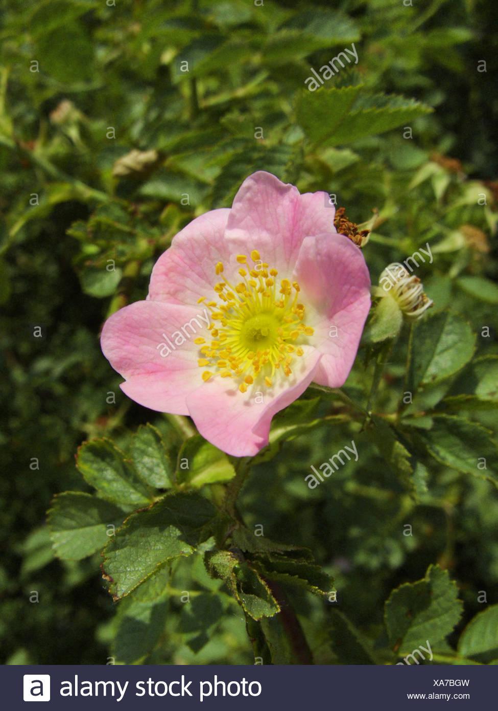 Sweet Briar Rose (Rosa rubiginosa), fleur, Allemagne, Rhénanie du Nord-Westphalie Photo Stock