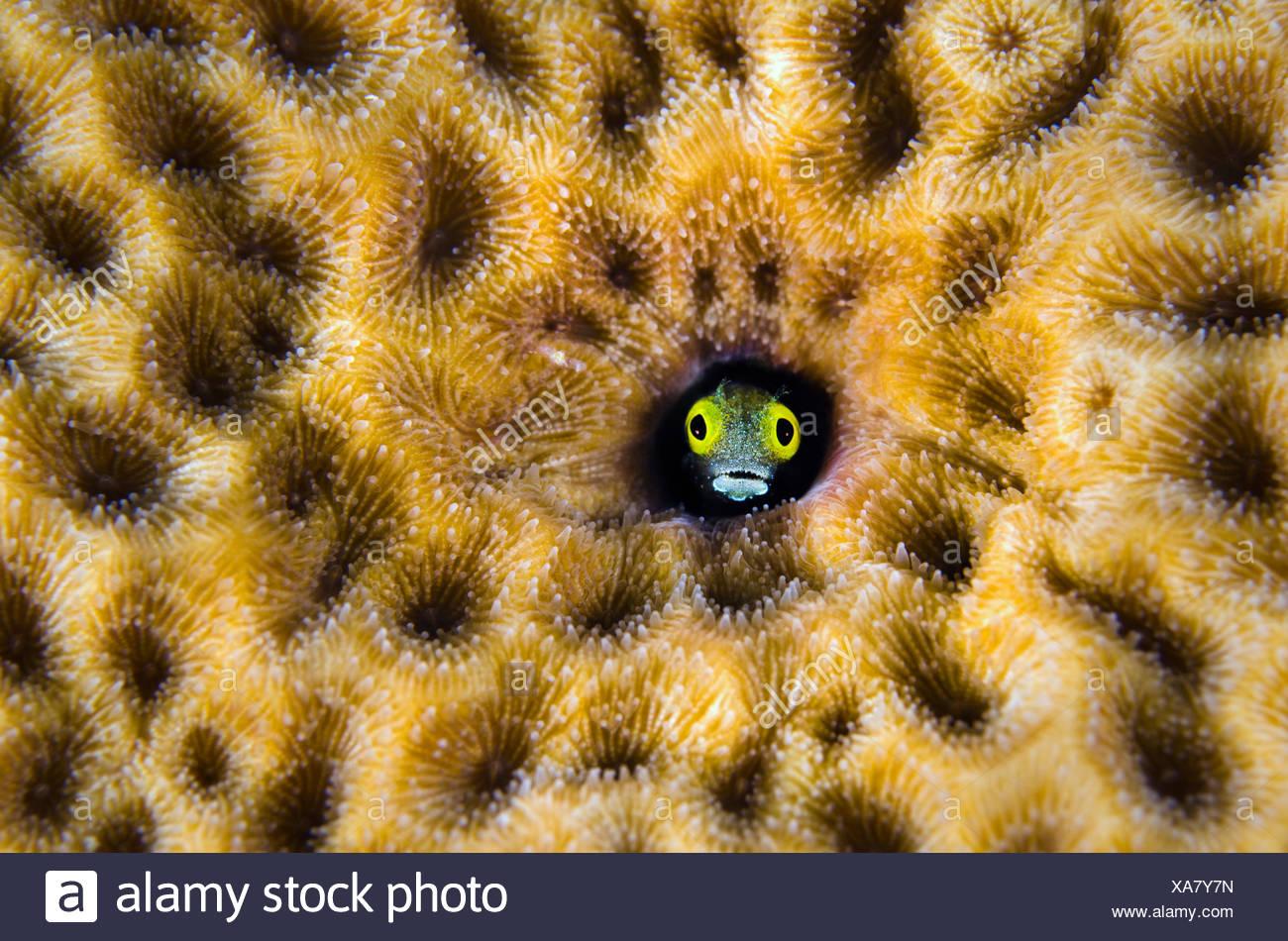 (Blennies Secrétaire Acanthemblemaria maria) pairs hors de son trou dans une starlette massive coral (Siderastrea siderea) East End, Grand Cayman, Cayman Islands, British West Indies, mer des Caraïbes. Photo Stock