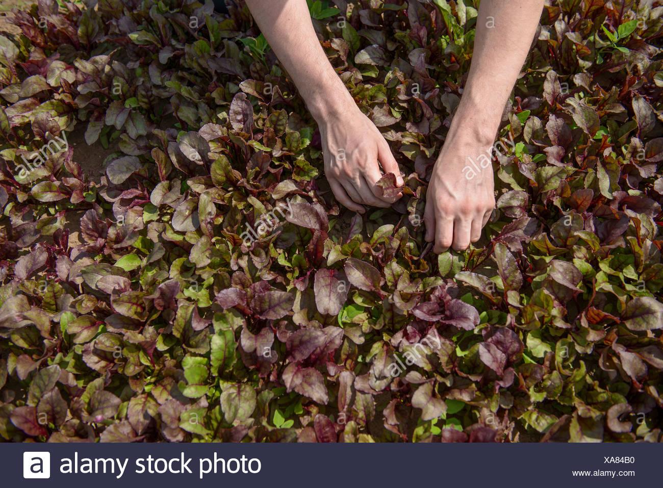 Cueillette travailleur récolte salade Photo Stock