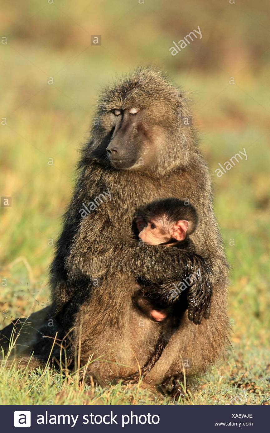Le jeune babouin bébé est tenu par les mères amoureusement dans ses bras, Masai Mara National Reserve, Kenya. Photo Stock