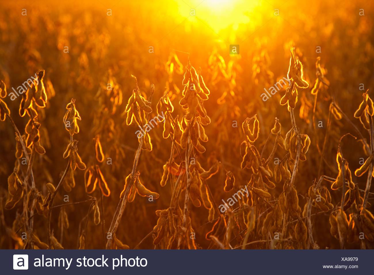 Agriculture - l'étape de la récolte à maturité des gousses de soja sur la plante, rétroéclairé par le coucher du soleil / près de Little Rock, Arkansas, USA. Photo Stock