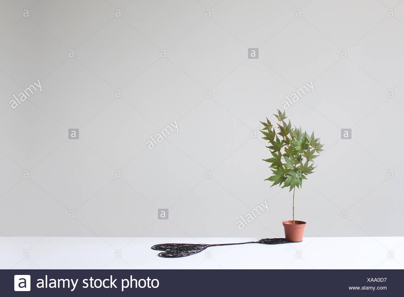 Arbre dans un pot d'une ombre en forme de coeur sur une table Photo Stock