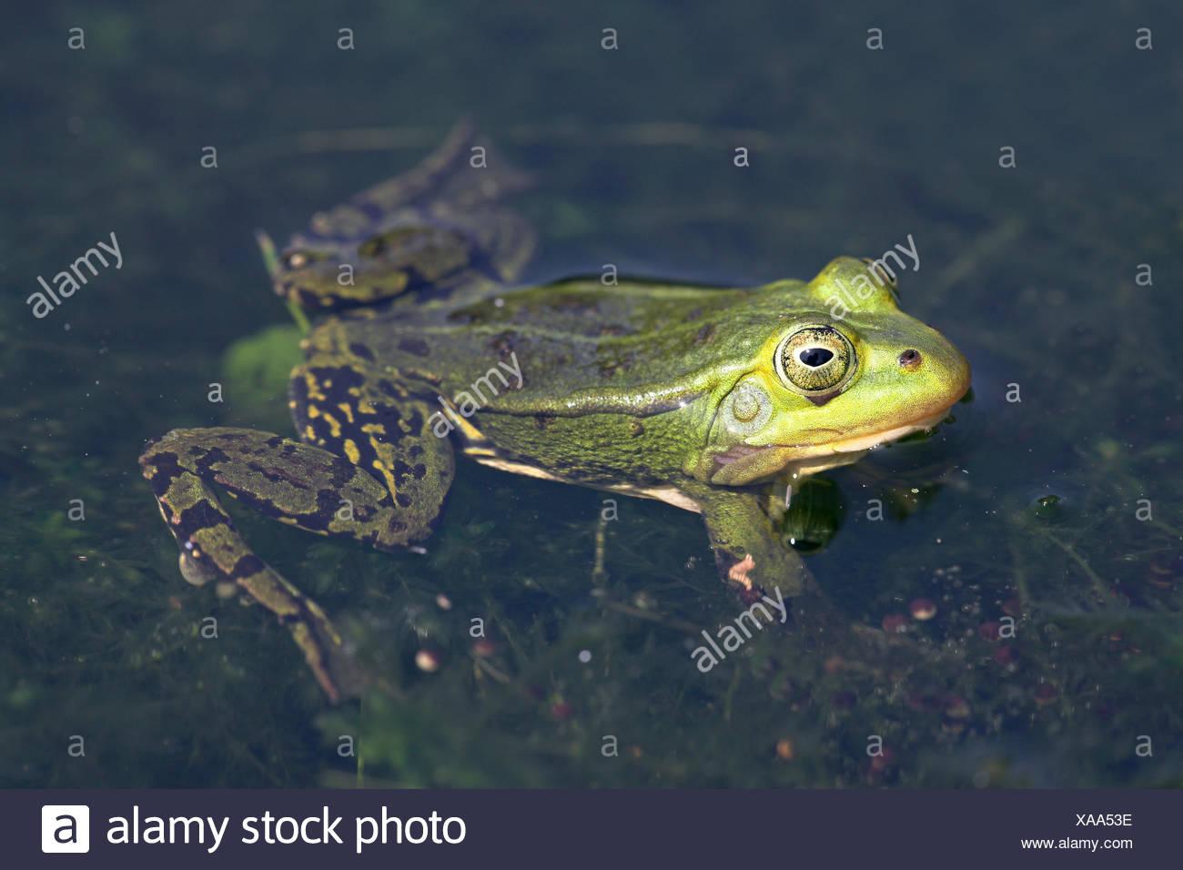 Mâle jaune grenouille piscine pendant la saison de reproduction Banque D'Images