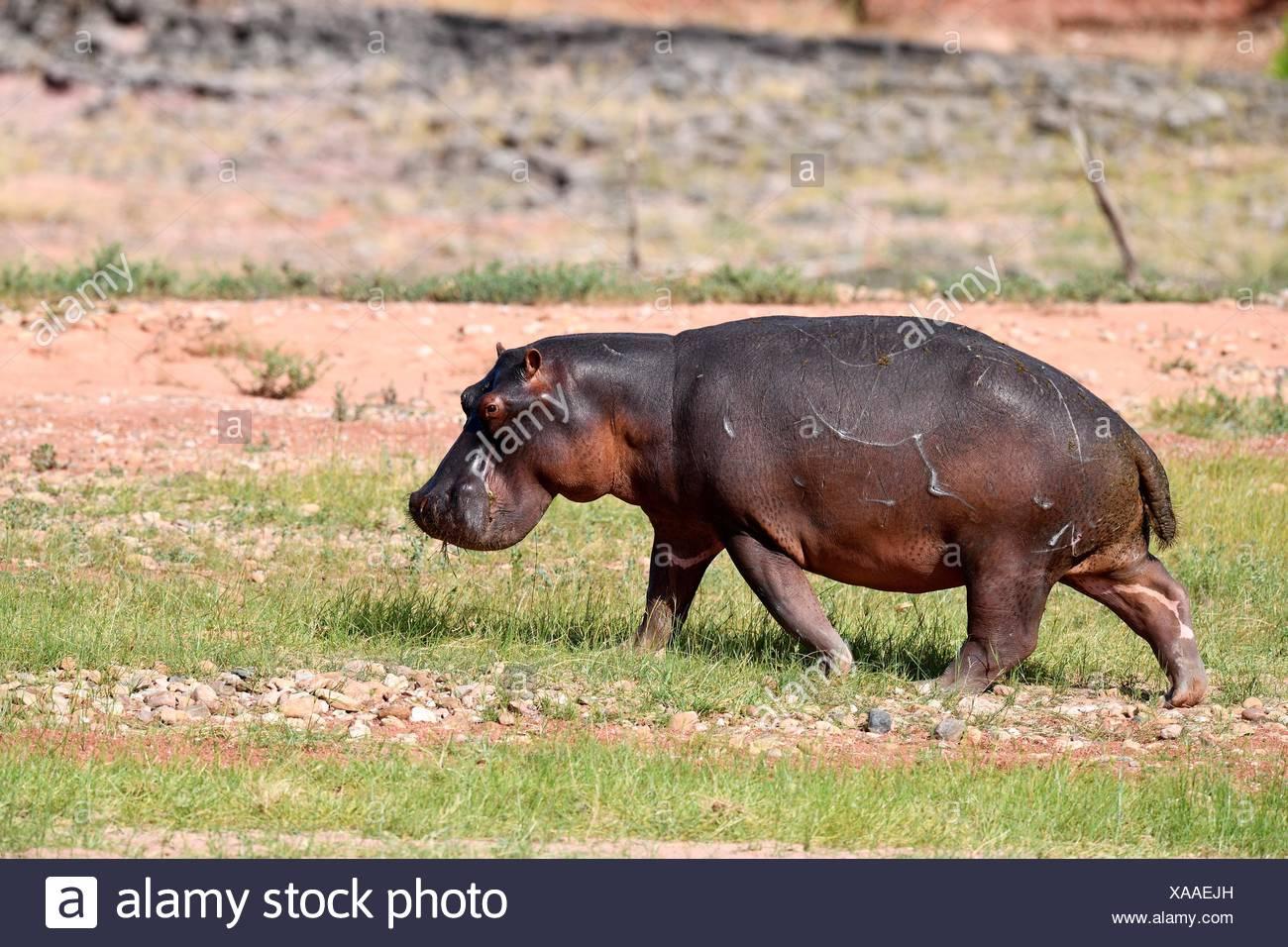 Hippopotame (Hippopotamus) Balade dans le Parc National de Matusadona, Zimbabwe. Photo Stock