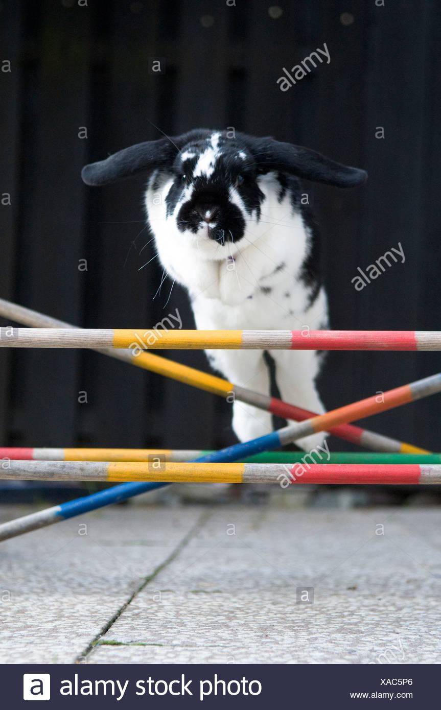 Close-up d'un lapin sautant par-dessus les obstacles Photo Stock
