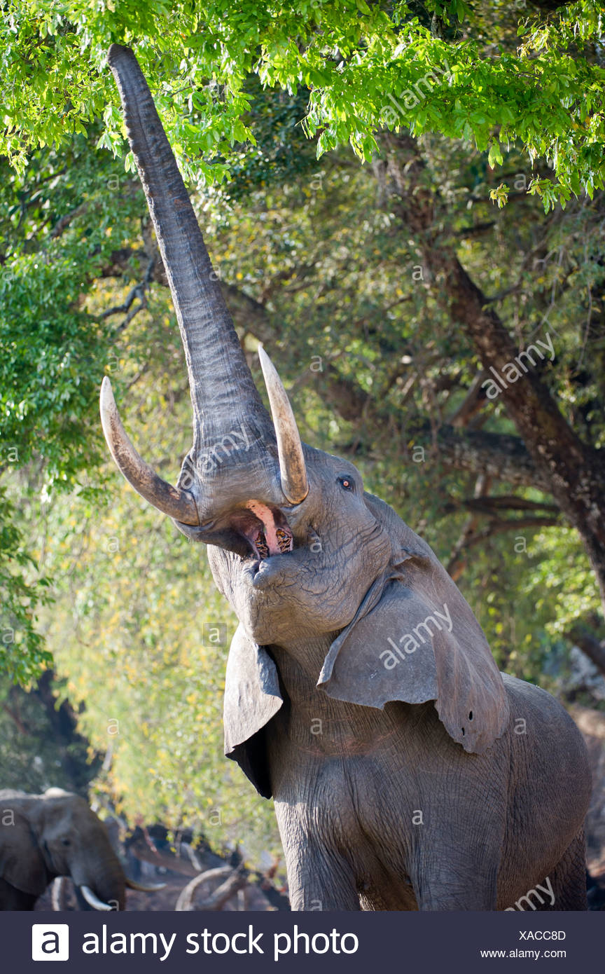 Bull adultes alimentation d'éléphants d'Afrique sur le feuillage sur les rives de la Rivière Luangwa. South Luangwa National Park, Zambie Photo Stock