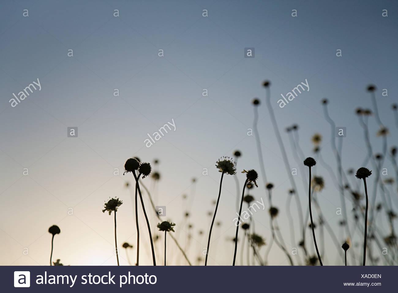 Les plantes qui se profile au coucher du soleil Photo Stock