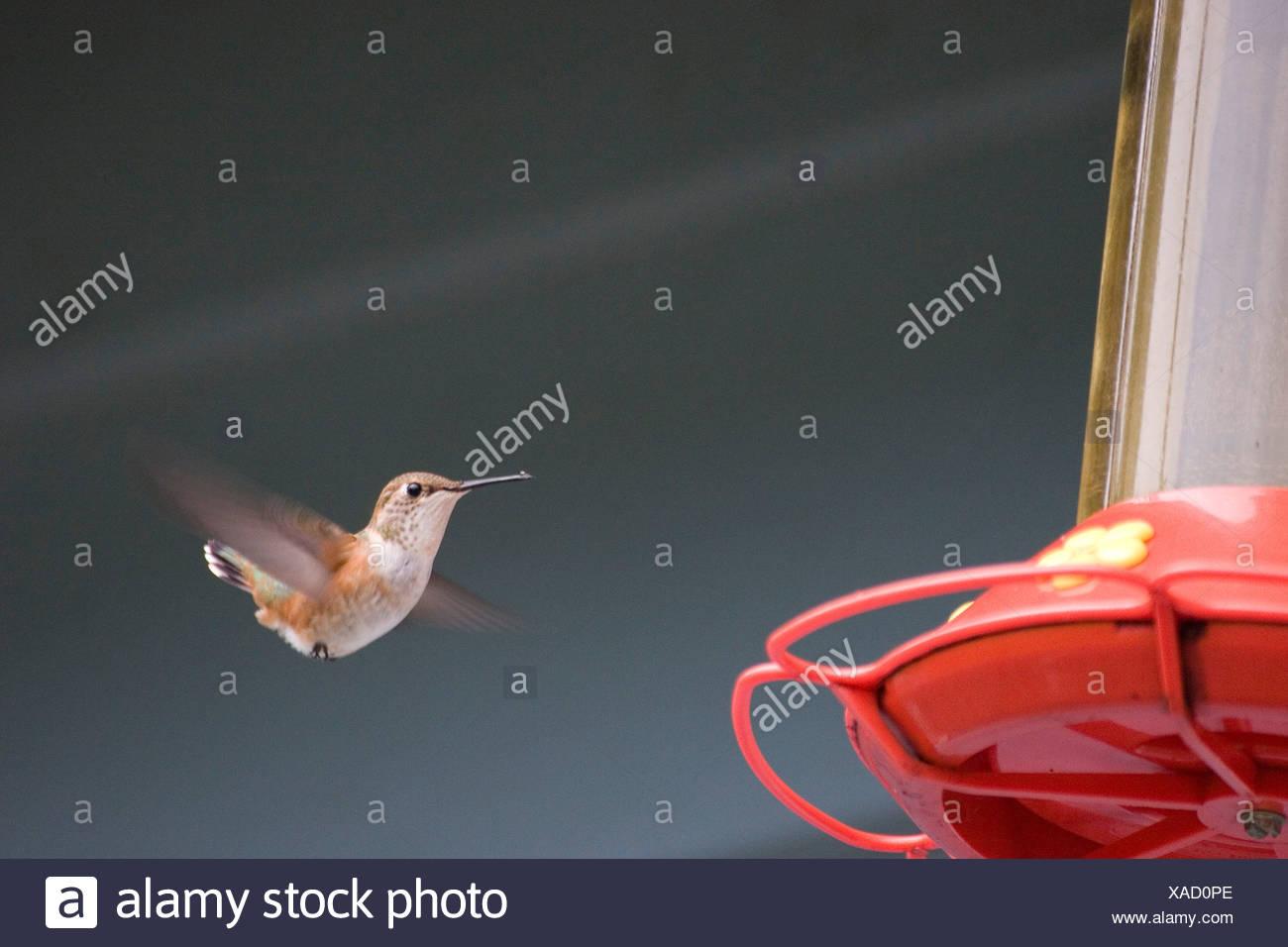 Au niveau du convoyeur d'oiseau de ronflement Photo Stock