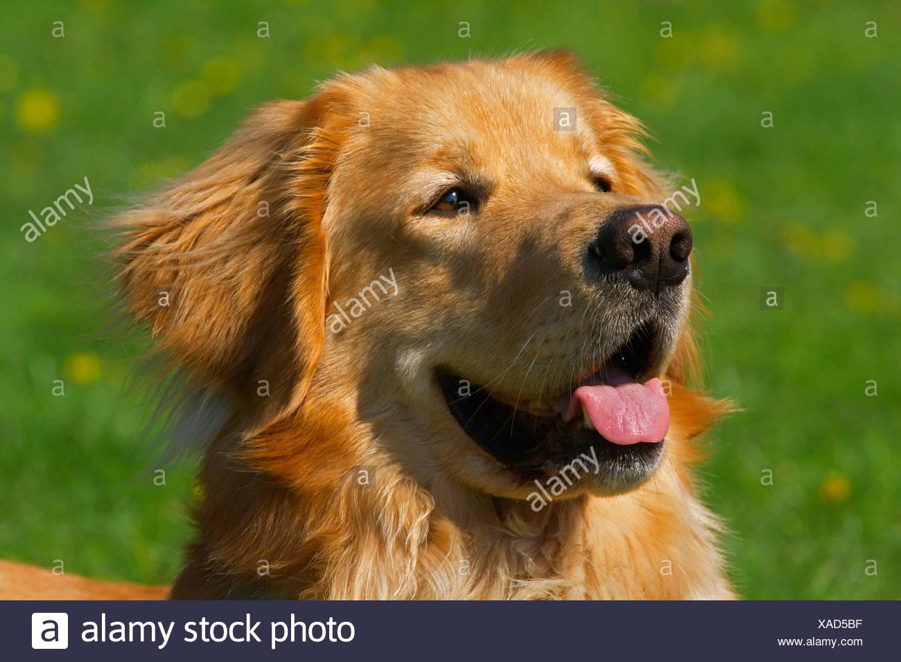 Hovawart (Canis lupus f. familiaris), portrait d'un chien mâle blond, Allemagne Photo Stock