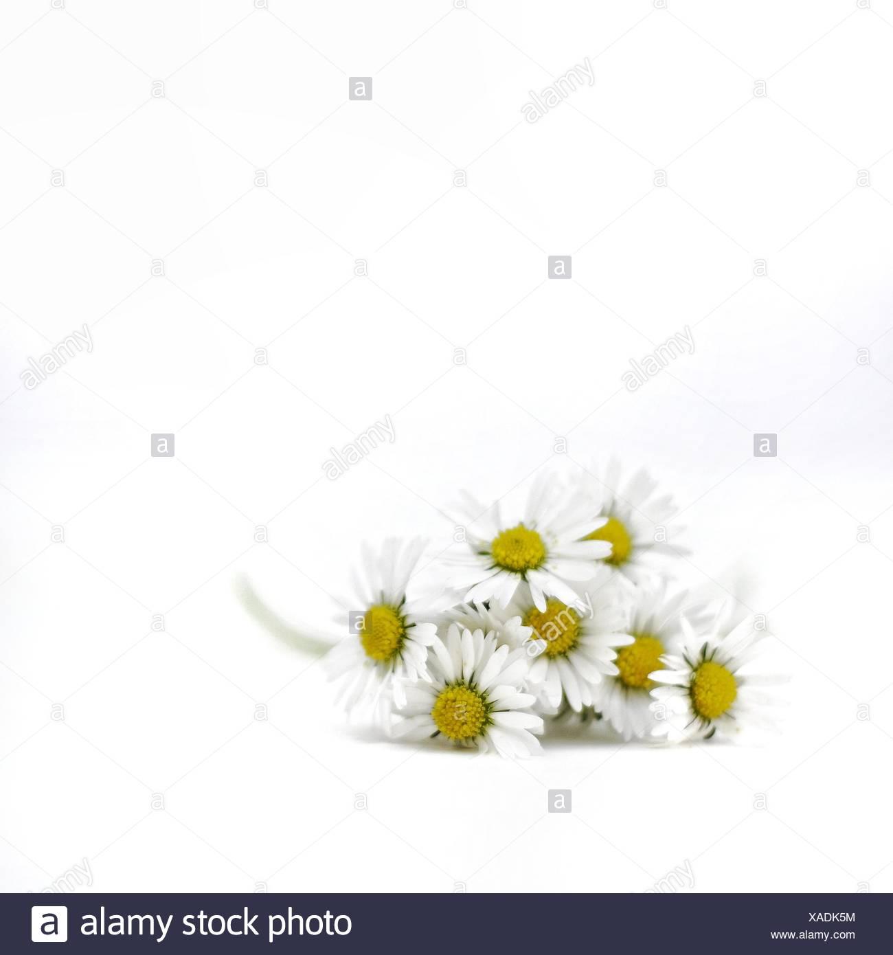 Bouquet de fleurs Daisy Photo Stock