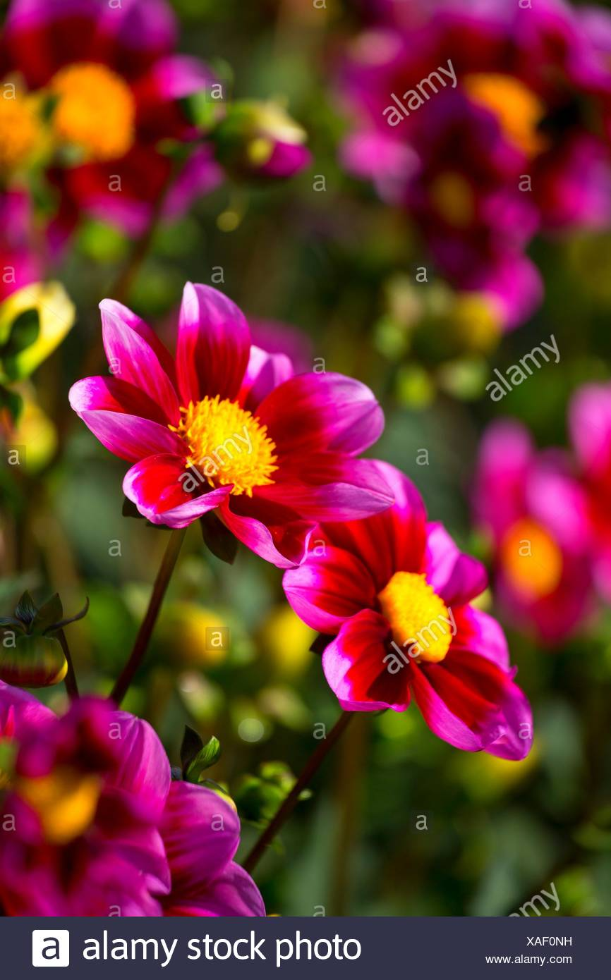 Dahlia scirpe, Swan Island dahlias, Canby, Oregon. Photo Stock