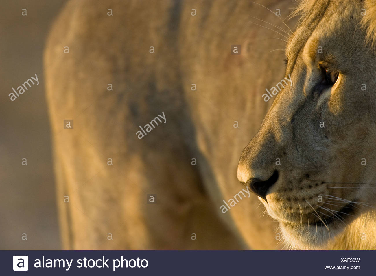 Lion portrait, Etosha National Park, Namibie Photo Stock