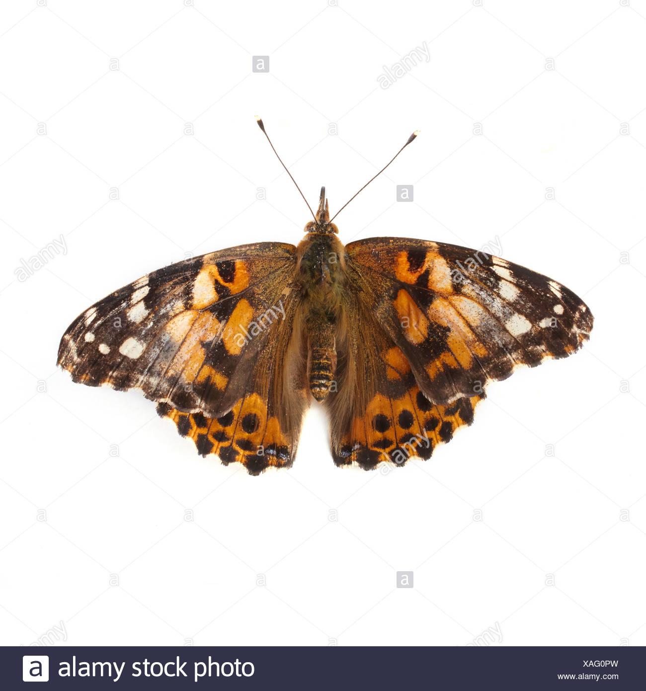 Papillon belle dame Photo Stock