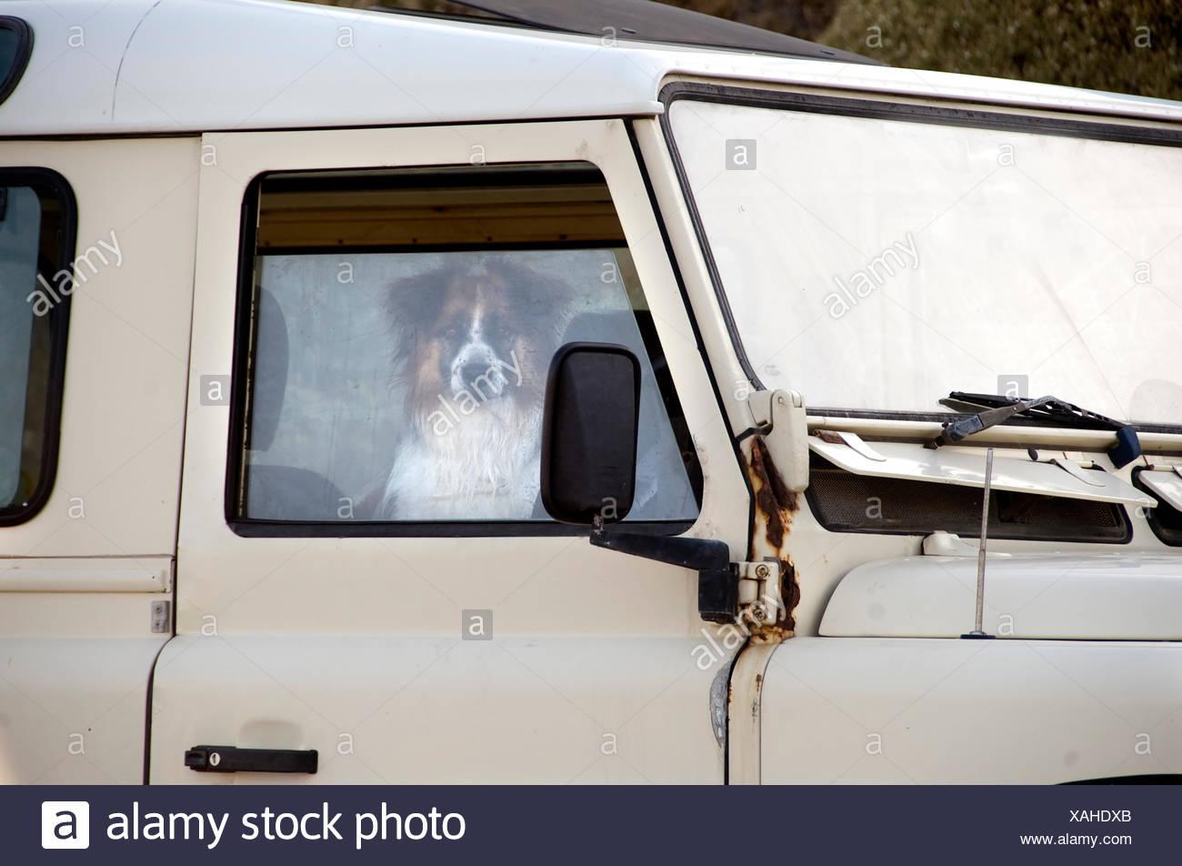 Chien Assis Dans La Camionnette Blanche à La Fenêtre De