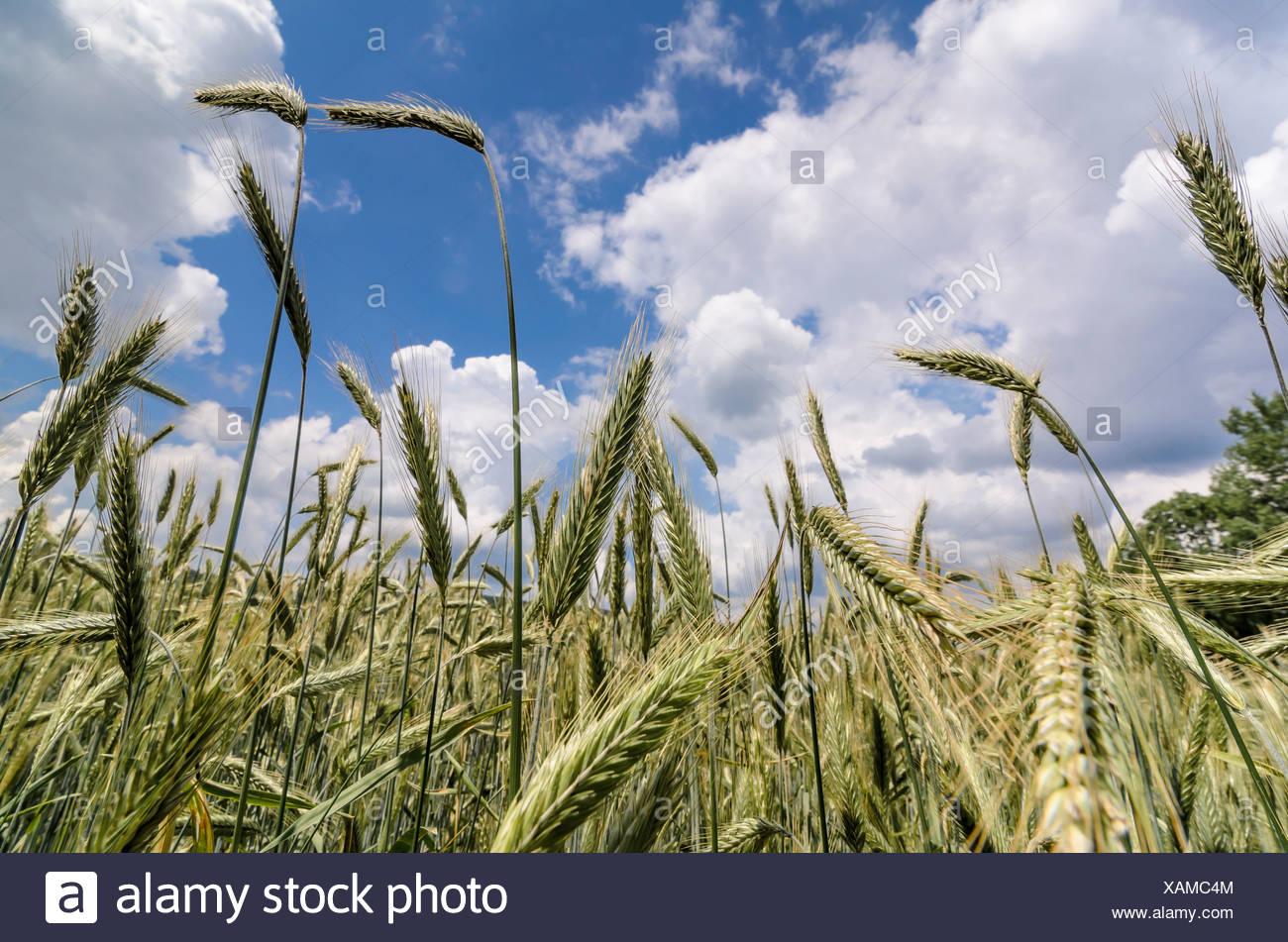 Épis verts de seigle (Secale cereale), champ de seigle contre un ciel bleu avec des nuages Photo Stock
