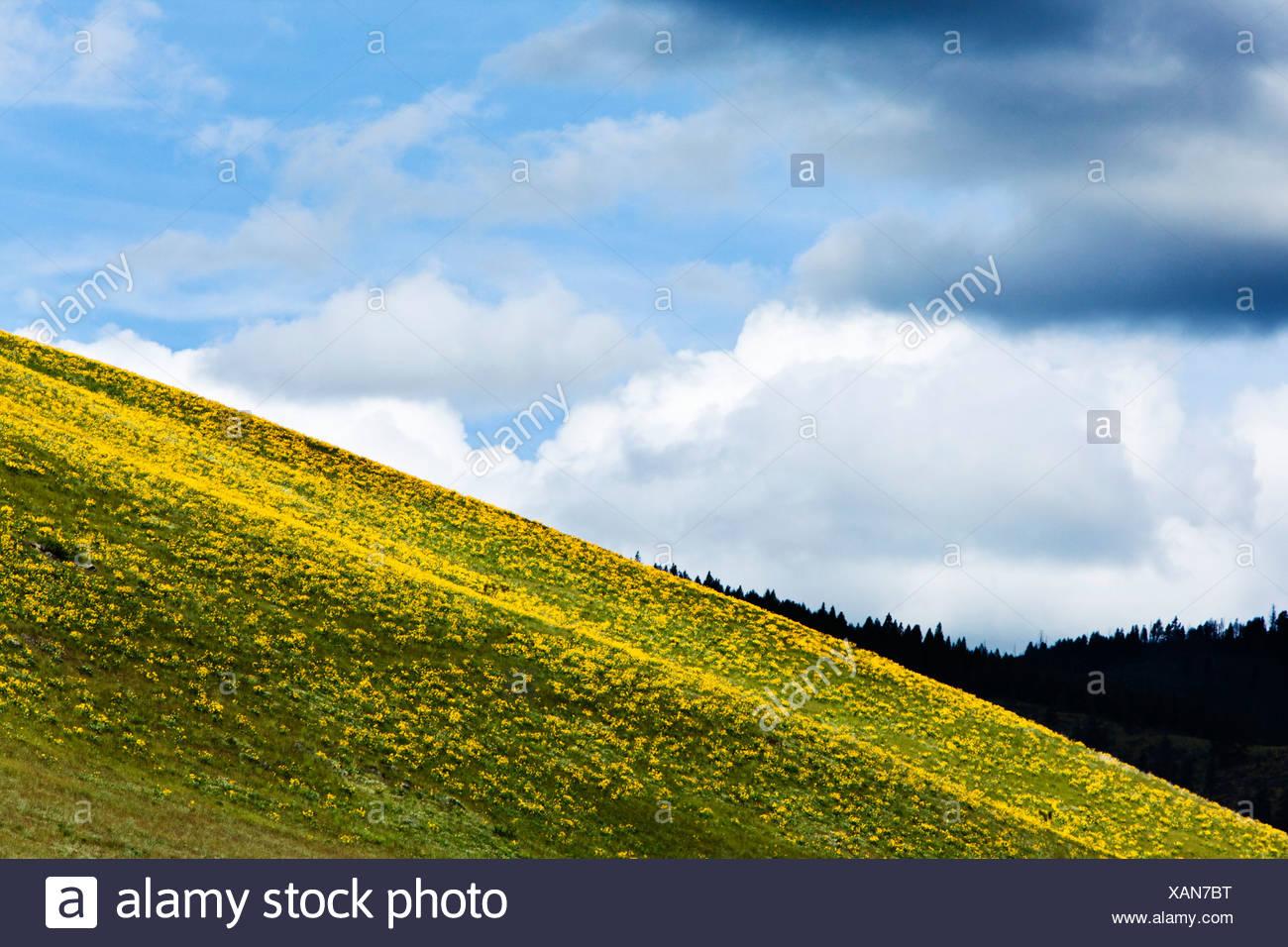 Une colline de fleurs sauvages fleurir sous un ciel orageux, dans le Montana. Banque D'Images