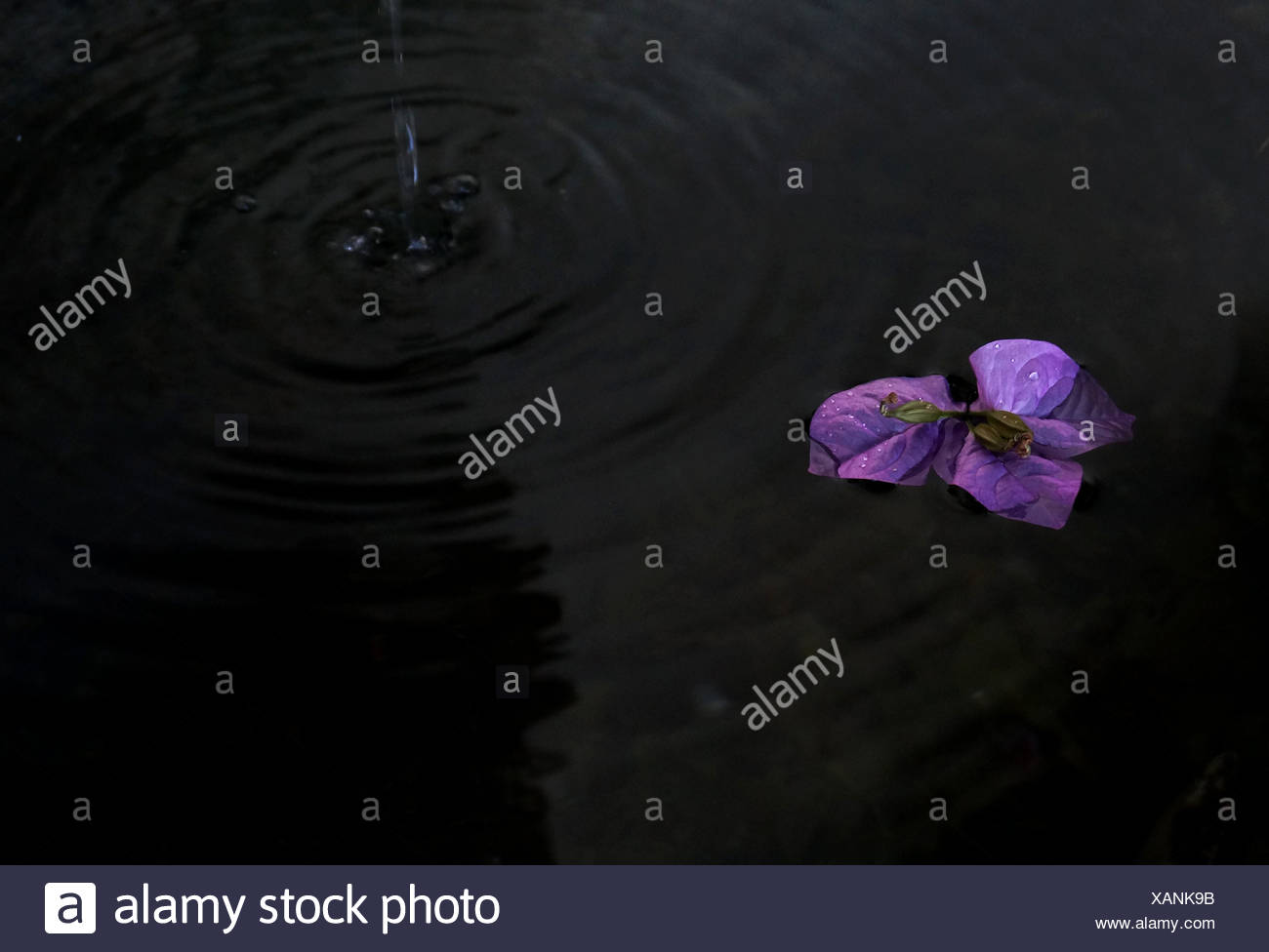 High Angle View Of Purple Flower in Pond Photo Stock