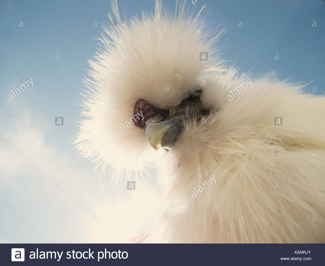 Portrait d'un coq Silkie Photo Stock
