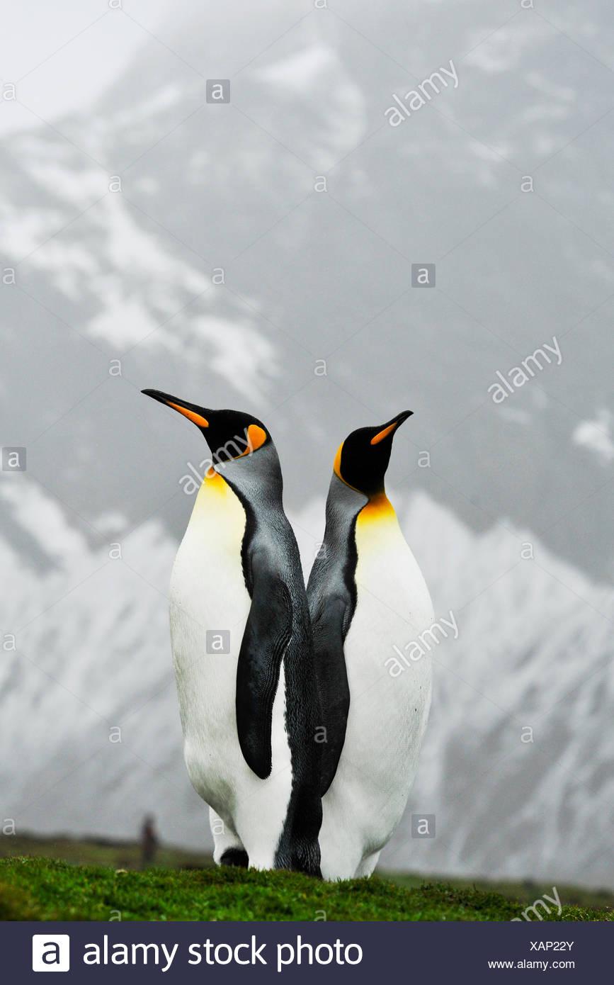 Manchot royal, l'Antarctique Banque D'Images
