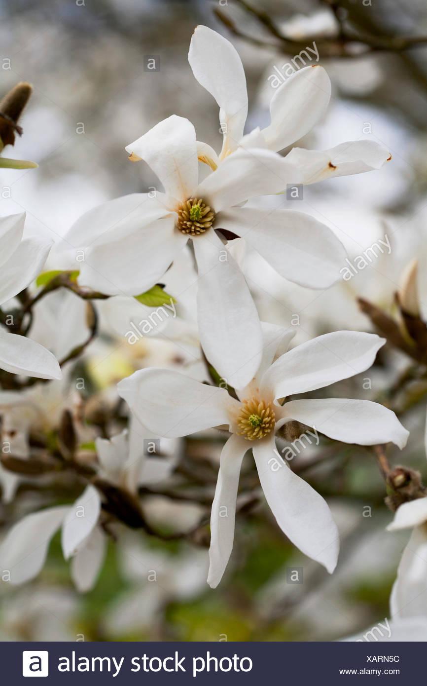 Magnolia salicifolia 'La mémoire de l'Ama' Photo Stock