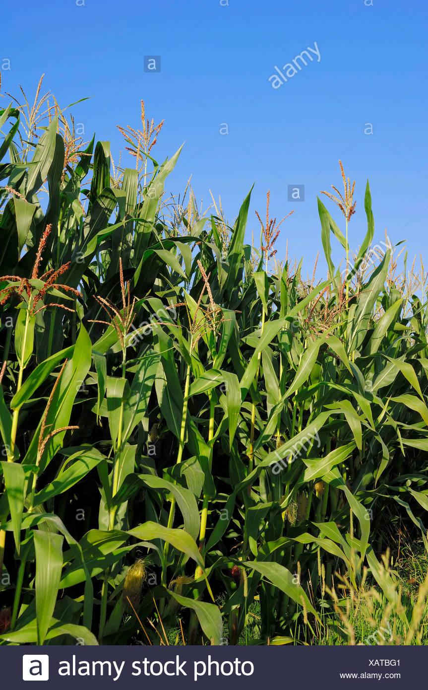 Le maïs (Zea mays), la floraison, la Rhénanie du Nord-Westphalie Photo Stock