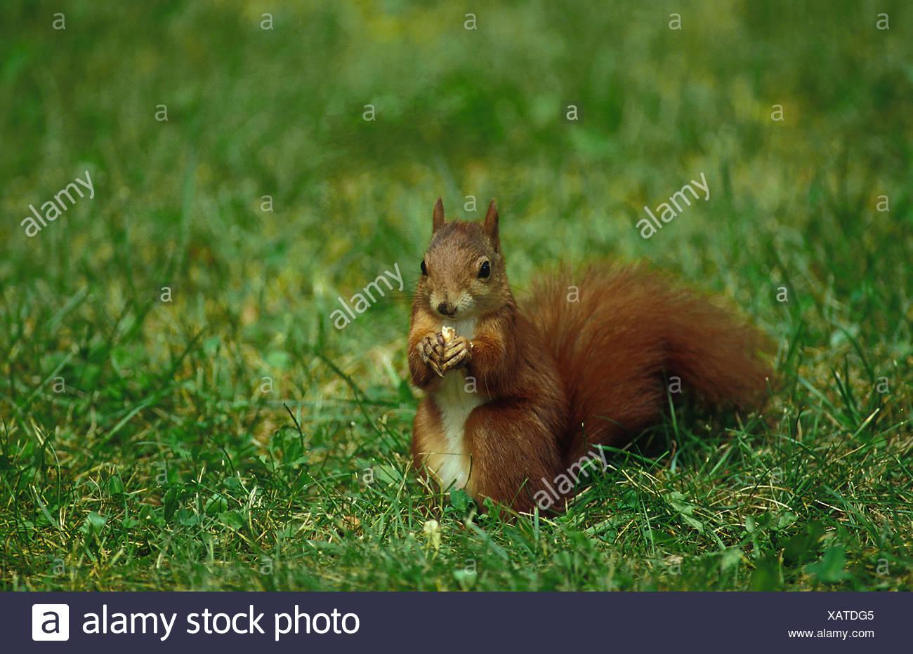 Sqirrel rouge européenne - à partir de l'avant , assis avec un écrou dans le pré - Photo Stock