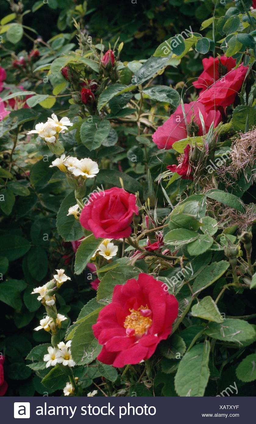Close-up of roses rose foncé avec du blanc sisyrinchium Photo Stock