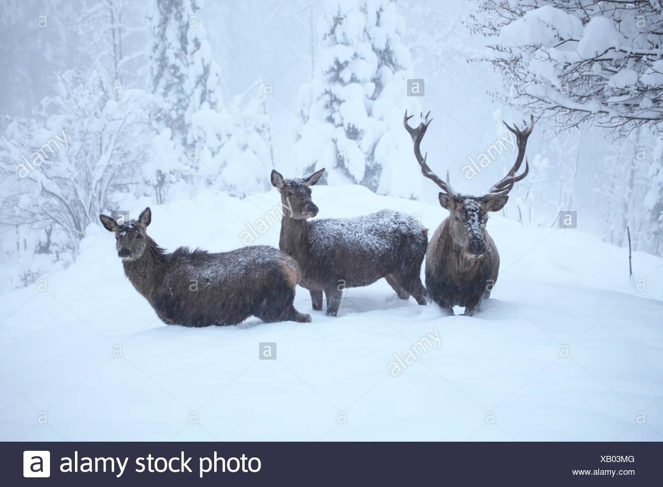 Hirschgruppe im Winter Banque D'Images