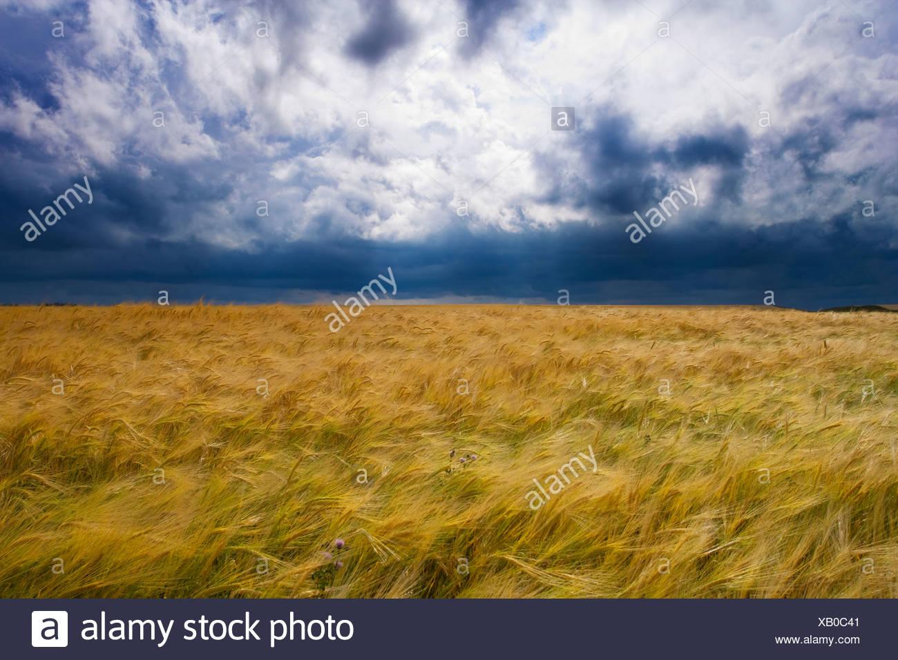 Orage de se déplacer sur un champ de céréales, Ridge Road 221, l'Alberta, Canada, nuage, météo, de l'agriculture Photo Stock