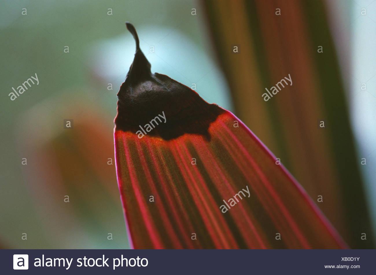 Moïse-dans-le-berceau, Oyster Plant, Rhoeo Rhoeo spathacea (Tradescantia spathacea,), dommages aux feuilles par beaucoup d'arrosage Photo Stock