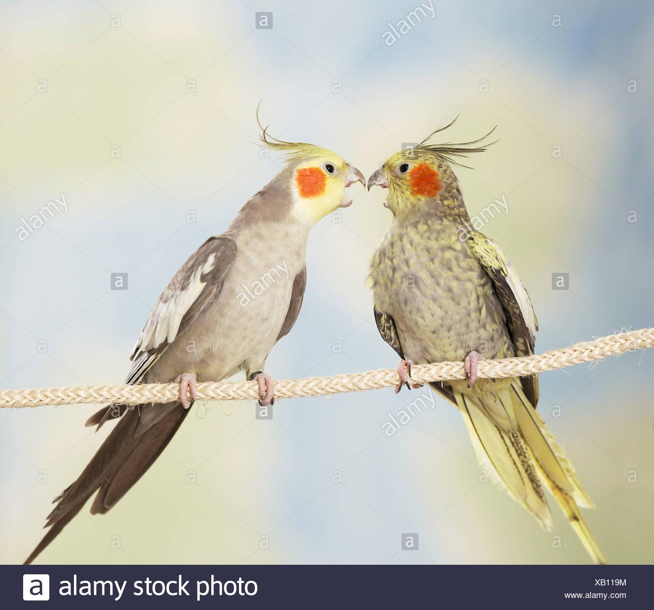 Deux perruches calopsittes sur corde - combats / Nymphicus hollandicus Photo Stock