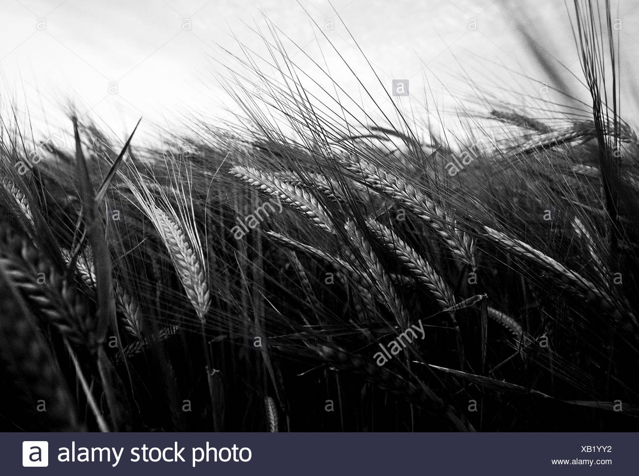 Close up of barley field Photo Stock