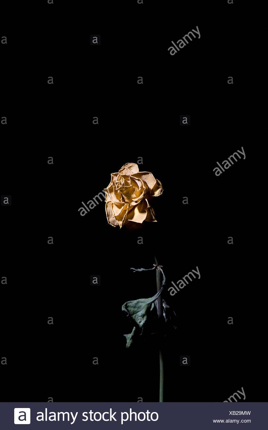 Mort de rose Banque D'Images
