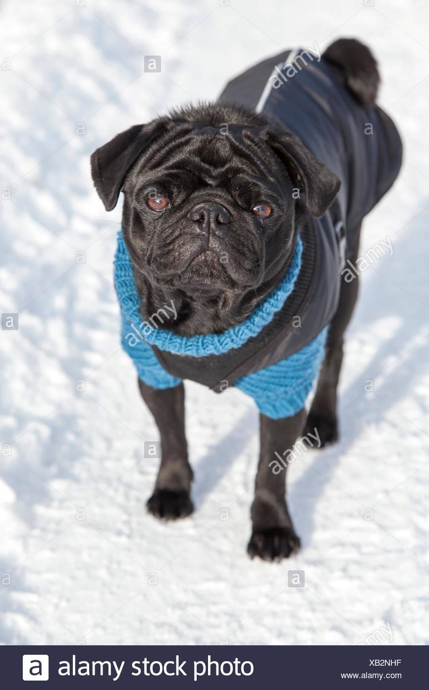 En Pug noir pull et manteau dans la neige Photo Stock