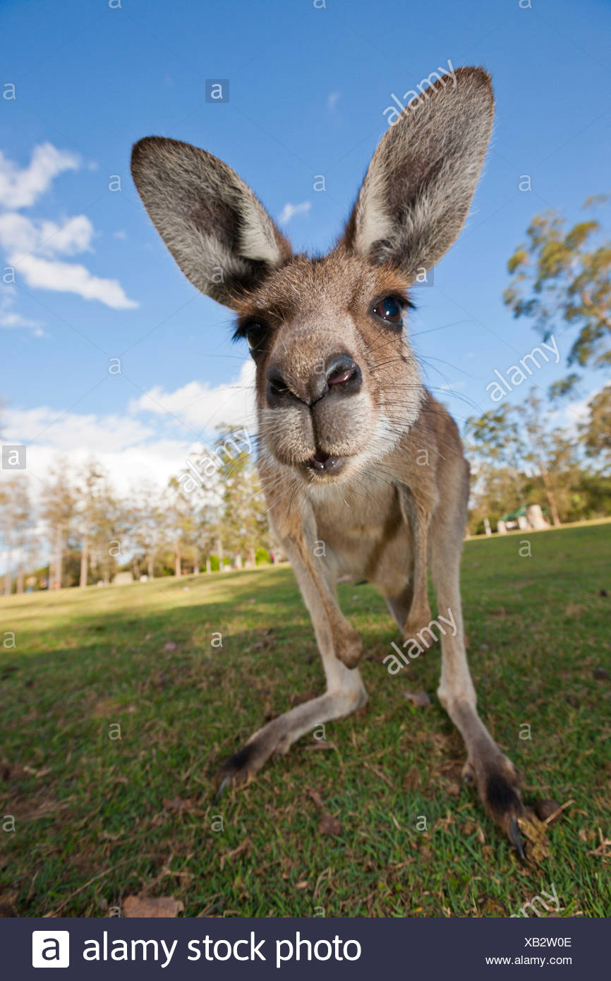 Kangourou gris, Macropus giganteus, Brisbane, Australie Photo Stock