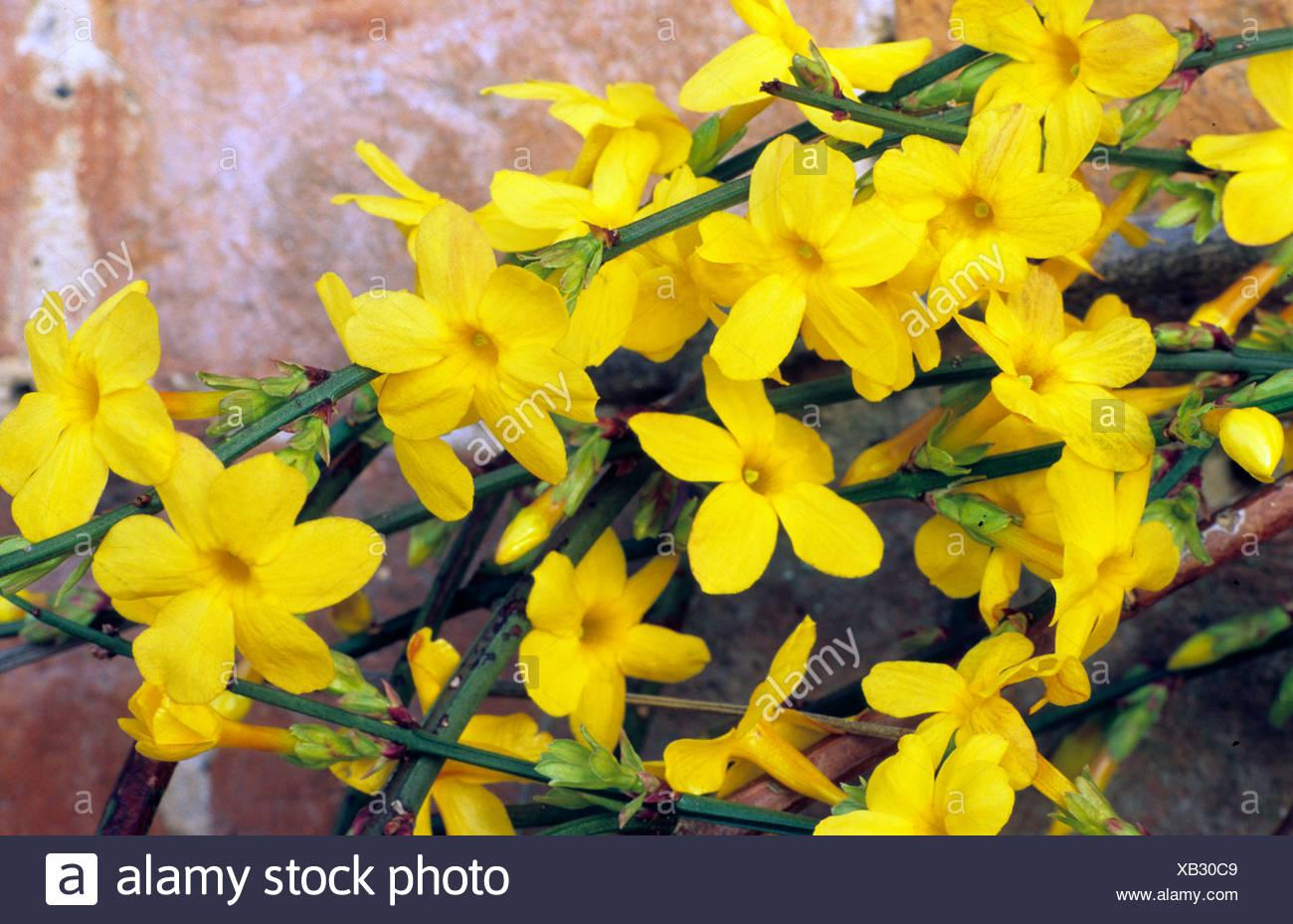 Jasminum Nudiflorum Jasmin D Hiver Fleurs Jaune Parfume