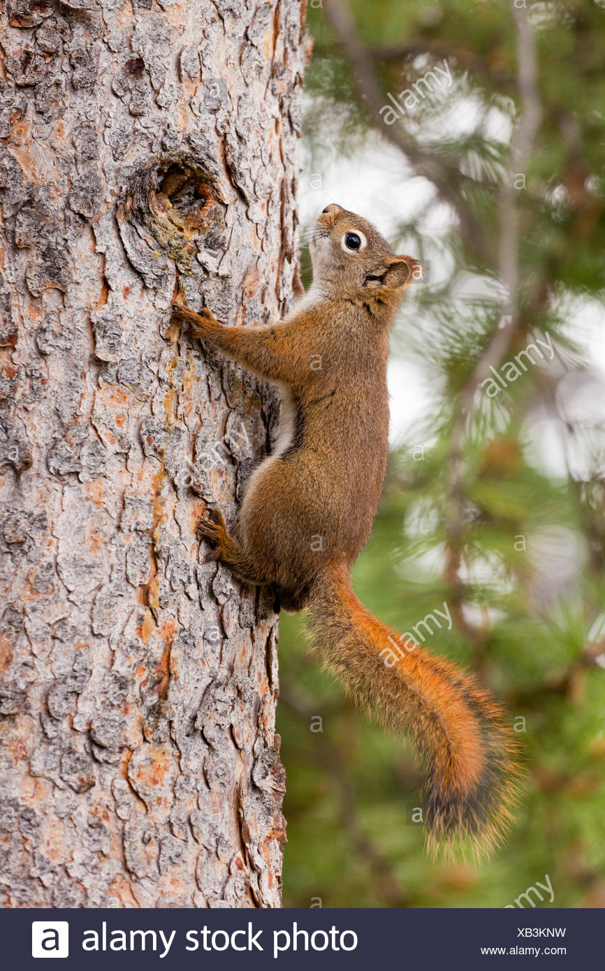 Curieux mignon Écureuil roux climbing tree Photo Stock