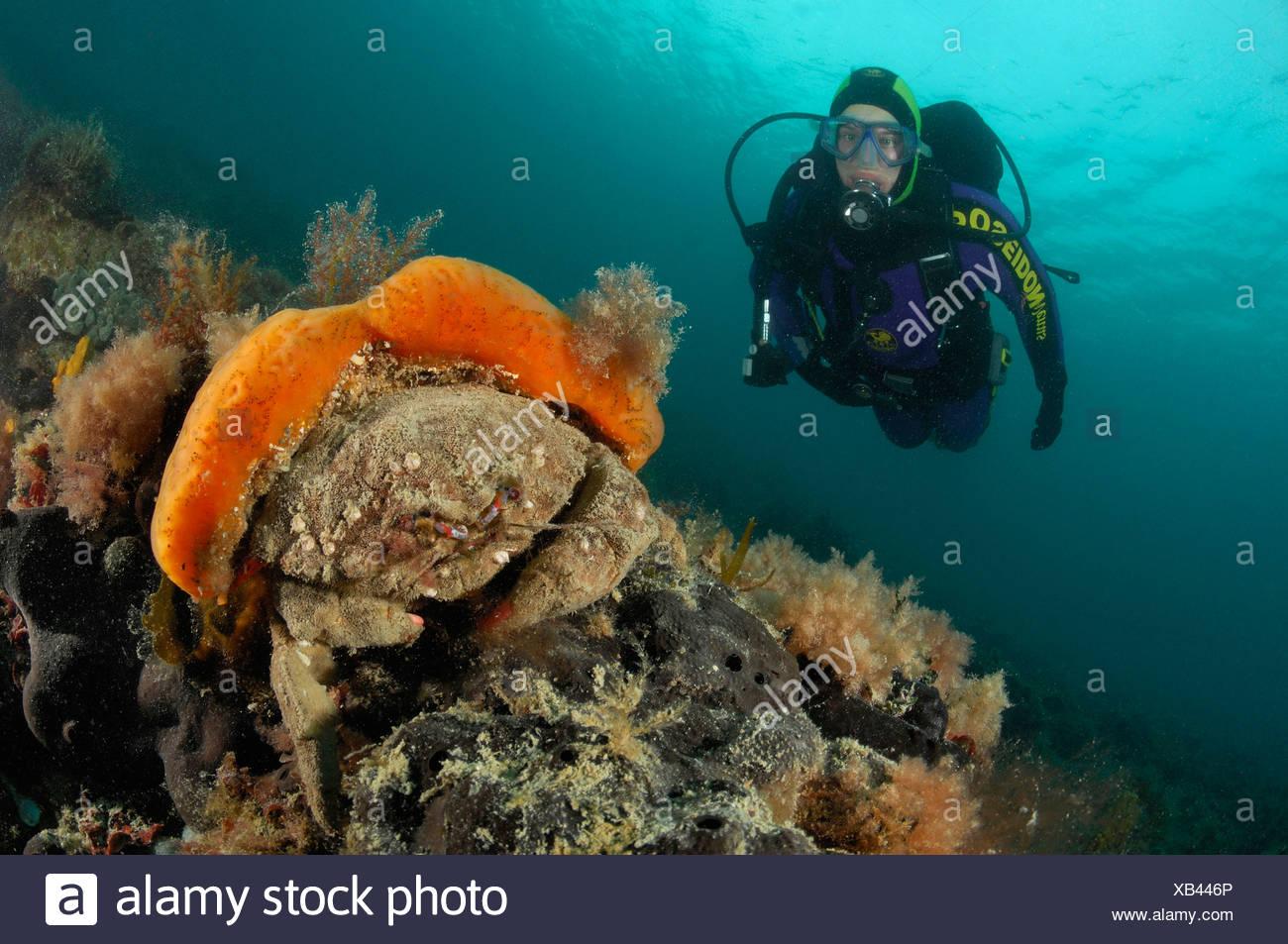 Crabe éponge éponge orange report, Dromia personata, Piran, Slovénie, la mer Adriatique Banque D'Images