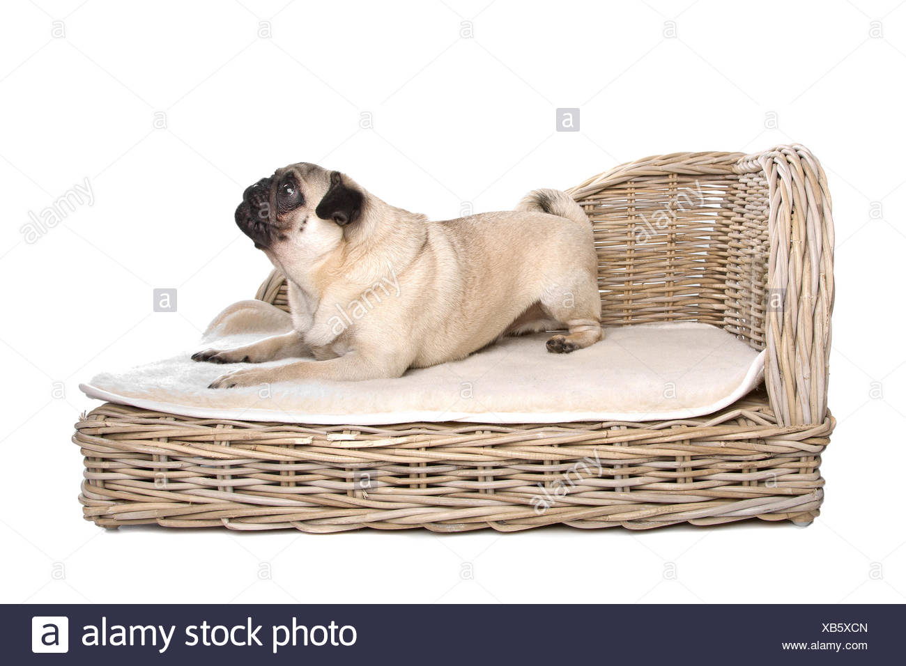 Sleepy Pug Photos & Sleepy Pug Images - Alamy